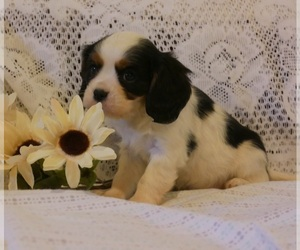 Cavalier King Charles Spaniel Puppy for Sale in SCOTTVILLE, Michigan USA