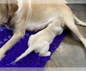 Labrador Retriever Puppy for Sale in ARTESIA, New Mexico USA