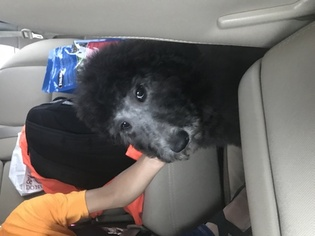 Poodle (Standard) Puppy for sale in OKLAHOMA CITY, OK, USA
