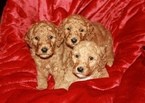 Goldendoodle Puppy For Sale in GOLDSBORO, NC,