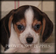 Playful Beagle Puppy