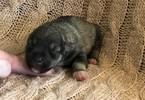 Schnauzer (Miniature) Puppy For Sale in OLLA, LA, USA