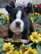 French Bulldog Puppy For Sale in FARMINGTON, Missouri,