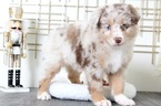 Australian Shepherd Puppy For Sale in BEL AIR, MD, USA