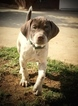 German Shorthaired Pointer Puppy For Sale in CORONA, California,