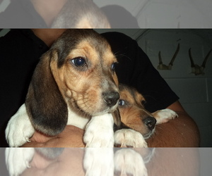 Beagle Puppy for Sale in NEW BRIT, Connecticut USA