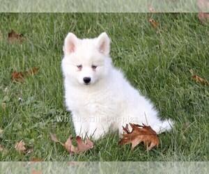 Pomsky Puppy for sale in DENVER, PA, USA