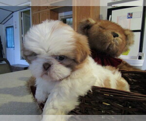 Shih Tzu Puppy for sale in KALAMAZOO, MI, USA