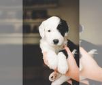 Puppy 8 Sheepadoodle