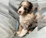 Puppy 1 Bernedoodle-Poodle (Standard) Mix