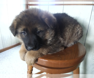 German Shepherd Dog Puppy for sale in FORT WAYNE, IN, USA