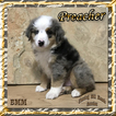 Preacher Mini Blue Merle Male Aussie