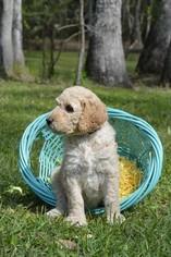 Medium Goldendoodle