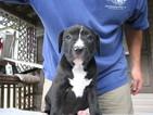 America Bandogge Mastiff Puppy For Sale in GADSDEN, AL