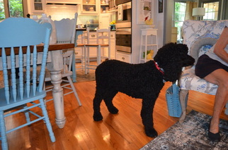 Goldendoodle Puppy For Sale in MADISON, GA, USA