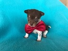 5 Week Old Male Chihuahua