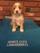 Australian Labradoodle Puppy For Sale in LONDONDERRY, NH, USA