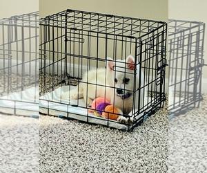 American Eskimo Dog Puppy for Sale in MERRILLVILLE, Indiana USA