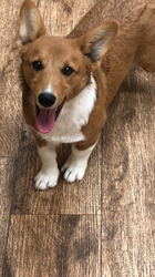 Pembroke Welsh Corgi Puppy For Sale in THURMAN, OH, USA