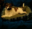 Jack Russell Terrier Puppy For Sale in VENUS, TX,
