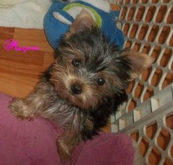 Yorkshire Terrier Puppy For Sale in ORANGE, VA