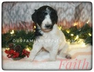 Poodle (Standard) Puppy For Sale in LANCASTER, Missouri,