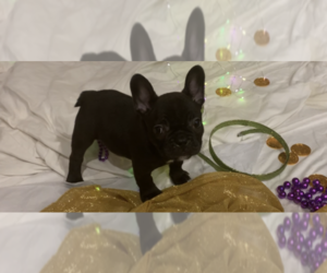 French Bulldog Puppy for sale in SAUCIER, MS, USA