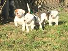 American Bulldog Puppy For Sale in BROOKSVILLE, FL
