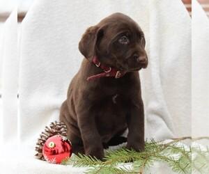Labrador Retriever Puppy for sale in NEW HOLLAND, PA, USA