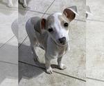 Small Italian Greyhound