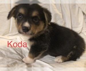 Pembroke Welsh Corgi Dog for Adoption in RAMONA, Oklahoma USA