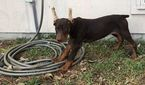 Doberman Pinscher Puppy For Sale in HARKER HEIGHTS, TX, USA