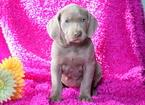 Weimaraner Puppy For Sale