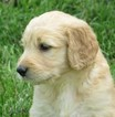Goldendoodle Puppy For Sale in WAYNESVILLE, Missouri,