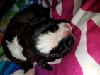 Boxer Puppy For Sale in HUMBOLDT, IA, USA