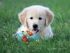 Golden Retriever Puppy For Sale in WEST UNITY, OH, USA