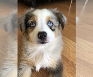 Miniature Australian Shepherd Puppy for sale in GOLDEN ISLES, FL, USA