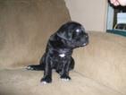 Cane Corso Puppy For Sale in SEABECK, WA, USA