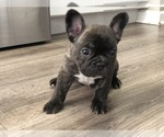 Small Photo #4 French Bulldog Puppy For Sale in HOLTSVILLE, NY, USA
