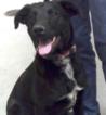 Golden Labrador Puppy For Sale in DELTONA, FL