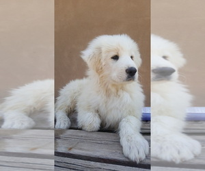 Great Pyrenees Puppy for sale in PLACITAS, NM, USA