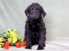 Shepadoodle Puppies for Sale