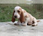 Small Basset Hound