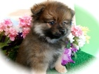 Pomeranian Puppy For Sale in HAMMOND, IN