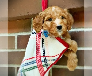 Irish Doodle Puppy for Sale in SILVERDALE, Washington USA