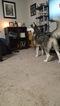 Small #14 Siberian Husky