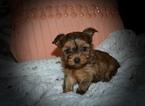 Morkie Puppy For Sale in GRAYSON, LA