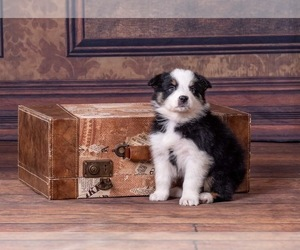 Australian Shepherd Dog for Adoption in ROBERTS, Illinois USA