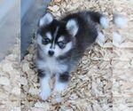 Small #5 Alaskan Klee Kai