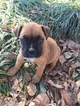Boxer Puppy For Sale in MILLEDGEVILLE, GA, USA